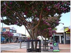 Pakenham's Main Street Crepe Myrtle trees summer flowering. (fotograf1v2) Tags: street summer flora australia victoria streetscape shoppingprecinct pakenham floweringtrees streettrees crepemyrtletrees cardiniashire