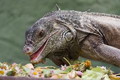 Iguana iguana (bertrandwaridel) Tags: animals zoo switzerland suisse vaud iguanaiguana zoologicalgarden servion tropiquarium