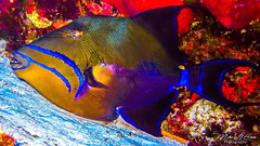 Blue Stripes - St. Lucia (mikederrico69) Tags: ocean fish scuba diving tropical triggerfish marinelife