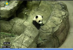 Number 1, the audience wanted a shot of boo in my mouth, number 2, they want me to climb to the top of the mountain (partipersian) Tags: audience bamboo boo beibei