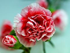 Nelke (ingrid eulenfan) Tags: pink flower macro pflanze carnation blume makro 90mm schnittblume makroobjektiv