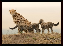 FEMALE CHEETAH WITH HER CUBS (Acinonyx jubatus).....MASAI MARA....SEPT 2015. (M Z Malik) Tags: africa nikon kenya wildlife ngc safari kws masaimara cheetahcubs cheetahfamily flickrbigcats exoticafricancats d800e exoticafricanwildlife 400mmf28gedvr