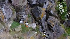 Puffins at Durness, Scotland (Fratzengeballer) Tags: outdoor puffins papageientaucher