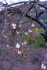 Hang down; a plum (sonica@2006) Tags: winter flower japan spring plum down well fujifilm too shizuoka hang fujinon izu colder the bloomed xm1 platinumheartaward xf35mm