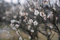 white ume trees. (_Count_Zero) Tags: ume umeblossoms