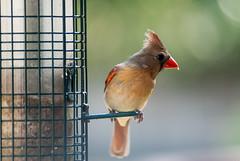 Female Cardinal (Woodlands Photog) Tags: bird nature cardinal birdfeeder feeder