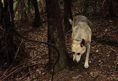 IMG_1450 (familynotblood) Tags: trees newzealand dog tree dogs nature forest bush nz bushwalk dogphotography