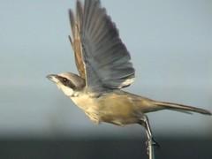 Taking Off (CharlesLam) Tags: bird taiwan laniusschach longtailedshrike kclama