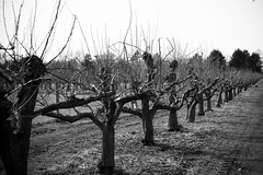 Apples & Pears (Cathy G) Tags: waterperrygardens oxford waterperry canon canon7d canon24105l appletrees peartrees fruit bare growing orchard bw naked barren