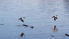 Flight of the male Bufflehead (praja38) Tags: life wild lake ontario canada male bird nature water animal fly flying bill duck wings harbour live wildlife pair caps flight wing beak feathers feather humour canadian bufflehead wingspan seabird capricorn bowmanville seaduck