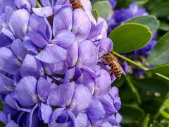 Purple Flower (Phet Live) Tags: macro live lg v10 phet