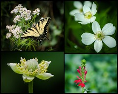 Woodland Garden Collage (hickamorehackamore) Tags: collage butterfly backyard native connecticut wildlife ct habitat anenome swallowtail tigerswallowtail certified nwf cardinalflower wetfeet haddam woodlandgarden mountainmint