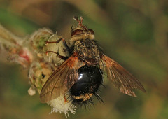 Tachinid - Epalpus signifer, Meadowood Farm SRMA, Mason Neck, Virginia (judygva) Tags: