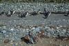 Penguins, Isla Magdalena (silkylemur) Tags: ocean chile cruise sea patagonia seascape southamerica pinguinos canon lens landscape tierradelfuego island penguins ship fullframe canoneos ona magallanes zoomlens endoftheworld beaglechannel chilena puntaarenas findelmundo islamagdalena landscapephotography magellanicpenguins llens 24105mm canonef canonef24105mmf4l canonef24105mmf4lisusm キャノン magdalenaisland eflens patagoniachilena selknam canonef24105mmf4lisusmlens efmount chileanpatagonia regióndemagallanesydelaantárticachilena canoneos6d fuegian regióndemagallanesydelaan