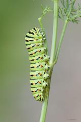 Papililo Machaon (jojesari) Tags: macro butterfly mariposa gusano suso oruga papiliomachaon machaon nikon105vr jojesari ar316g