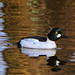 Common goldeneye // Bucephala clangula