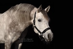 Mahadin 2 (Hestefotograf.com) Tags: horses horse oslo norway caballo cheval married welsh arabian justmarried cavalo pferd stallion canter equine equus paard darkhorse friesian purarazaespanol equinephotographer equinephoto hestefotograf