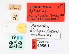 Aphodius sabulicola Thomson, 1868 (Biological museum, Lund University: Entomology) Tags: coleoptera scarabaeidae aphodius sabulicola aphodiinae cgthomson mzlutype04956