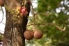 cannonball flower-3 (Nikondxfx (instagram)) Tags: park morning tree nikon centralpark saltlake greens deciduous tamron kolkata cannonball westbengal lecythidaceae couroupita guianensis banabitan