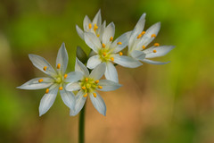 False Garlic (stephaniepluscht) Tags: park flower nature flickr gulf alabama explore wetlands garlic shores wildflower false 2016