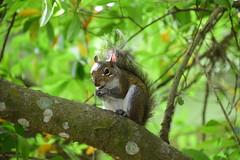 Eastern gray squirrel (rugbike) Tags: autofocus allnaturesparadise