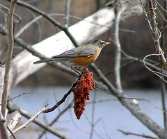 American Robin on Sumac (mudder_bbc) Tags: newyork robin birds march troy sumac americanrobin turdusmigratorius frearpark