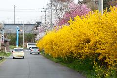 Road 236 * 53 (Wunkai) Tags: japan 桜 nagai 茨城 土浦 ibarakiken road53 tsuchiurashi road236