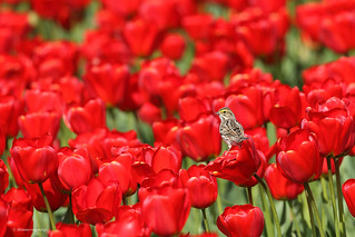 Perched on a tulip
