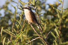 Red-backed Shrike (Lanius collurio) (Kev Gregory (General)) Tags: africa family pink mountain black game mountains bird eye field birds river private wire asia europe african district south small stripe large reserve sigma insects safari butcher frogs western tropical migratory guide shaun through 50500 practice thorns eats gregory kev barbed rodents lizards carnivorous winters limpopo larder shrike reddish corpses waterberg nickname wheatear perches breeds hunts jenkinson tinged redbacked lanius passerine collurio prominent shrikes laniidae thabazimbi marakele impales marataba vermiculated motlhabatsi