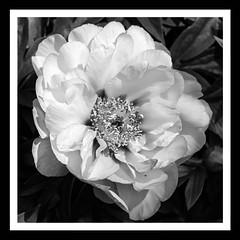 Peony Squared (brev99) Tags: blackandwhite flower garden border peony frame tulsa tulsagardencenter springblossom d7100 ononesoftware silverefex nikoutputsharpener tamron180f35 perfecteffects9