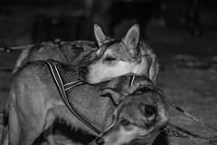 power off (Jake Vince) Tags: winter dog snow nature norway husky outdoor arctic sledding tromso troms