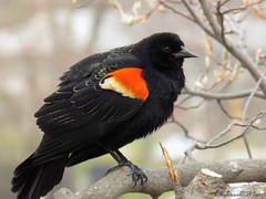 """""""On earth there is no heaven, but there are pieces of it."""" (NaturewithMar) Tags: red bird ngc npc winged blackbird"""