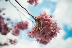 20160306-DSC_6164 (Kay's...) Tags: cherryblossom sakura   wuling wulingfarm