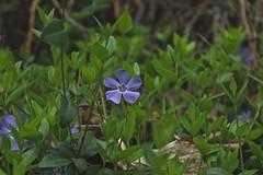pervenches (bulbocode909) Tags: nature fleurs vert printemps herbes pervenches