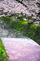 Sakura carpet () Tags: japan canon spring kyoto dof   sakura         5d3 ef2470mmf28liiusm