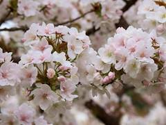 Omuro Cherry Trees - Omuro-zakura (maco-nonchR(on/off)) Tags: temple japanese cloudy traditional unescoworldheritagesite cherryblossoms kioto japon japons  ninnaji  fantasticflowers  omurozakura