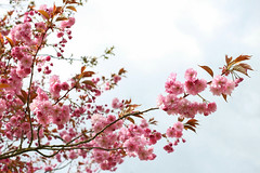 relaxe (linda.richtersz) Tags: pink flowers tree spring blossom canoneos100d 50mmlensf14