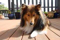 Jordie (ambodavenz) Tags: new dog south sheltie sheepdog canterbury zealand timaru shetland