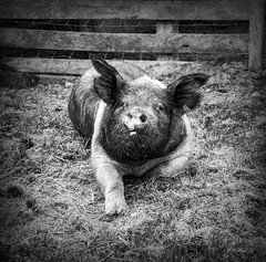 Brian_Kinder Farm Hog 1 LG Textures BW_042216_2D (starg82343) Tags: park blackandwhite bw animals outside outdoors blackwhite md farm farming maryland pic monotone domestic grayscale swine hog 2d farmanimals domesticated millersville kinderfarmpark brianwallace kinderfarm millersvillemaryland