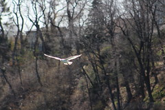 White In Flight 2 (RZaichkowski) Tags: seagulls toronto birds highpark april 2016 grenadierpond canonrebelt5