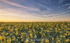 A sea of Rapeseed in Dorset giving off some great summer vibes despite the frosty start! (Emily_Endean_Photography) Tags: flowers summer beautiful field sunrise landscape spring nikon seed rape dorset rpeseed