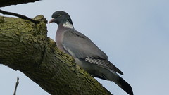 Pigeon/Duif (ArendMS) Tags: people bird animals swan pigeon dieren vogel mensen zwaan duif jackdaw kauw panasonicfz200