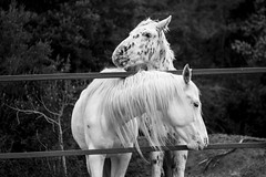 Horses (Nuria Ocaa) Tags: friends horses blackandwhite bw horse mountain nature beauty hair walking spring couple moments bokeh details sunday 60mm equine springtime altemporda emporda equidae horseportrait 60d