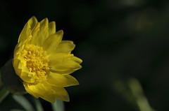 160406 Morning in the garden_DEB9536 copy (debunix) Tags: macro yellow whoami blossombloomflower possiblepentachaetaaurea