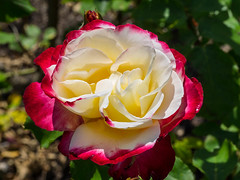 White and red rose (melastmohican) Tags: california red orange white plant flower color love nature floral beautiful beauty field rose garden season botanical outdoors us bush flora colorful day unitedstates natural blossom gardening outdoor sanjose sunny nobody fresh petal bloom shrub rosebush