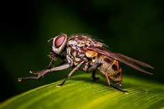 Blow Fly, just like that. (davidandsus) Tags: colour macro eye insect fly wings legs overtheexcellence