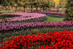 Tulip garden (s_gulfidan) Tags: painterly tulips 200faves saariysqualitypictures
