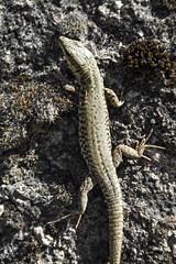 Y a pas de lzard ! (Adeline Morel Photographie) Tags: animal reptile mur chteau bronzer lzard faune vizille