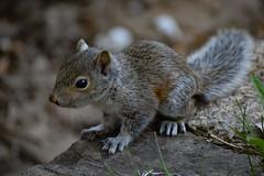 Baby Squirrel (RWDrurey) Tags: baby nature nikon squirrel zoom pennsylvania nikond5300 naturebynikon