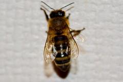 Visita sin invitacin (juan_jest) Tags: insecto 2016 macrofotografa